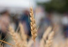 Wheatear. Fall riped wheatear grain field Stock Images