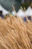 Wheatear. Fall riped wheatear grain field Royalty Free Stock Photos