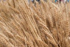 Wheatear. Fall riped wheatear grain field Royalty Free Stock Photography