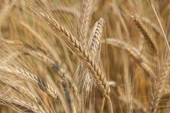 Wheatear. Golden ears of wheat,Wheatear Stock Photo