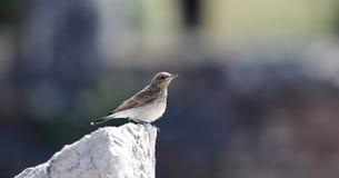 wheatear-Karakulaklı Nero-eared Kuyrukakan fotografie stock