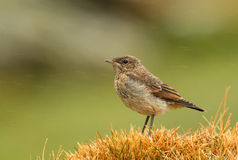 Wheatear nordico (oenanthe oenanthe) Immagine Stock