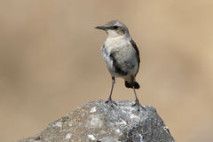 Wheatear nordique, oenanthe d'Oenanthe Images stock