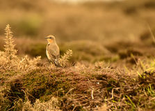 Wheatear Royalty Free Stock Images