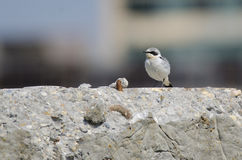 Wheatear (Oenanthe oenanthe) Stock Photo