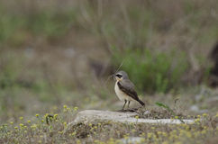Wheatear (Oenanthe oenanthe). A Wheatear (Oenanthe oenanthe) resting on a stone Royalty Free Stock Image