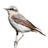 Wheatear (Oenanthe oenanthe) Royalty Free Stock Photo