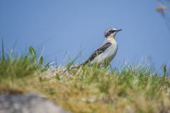 Wheatear, oenanthe oenanthe. The image of wheatear, Oenanthe Oenanthe is shot by the walls of Fredriksten fortress in Halden, Norway Royalty Free Stock Photo