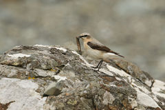 A Wheatear, Oenanthe oenanthe, perched on a rock with a large caterpillar in its beak. Royalty Free Stock Image