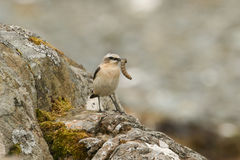 A Wheatear, Oenanthe oenanthe, perched on a rock with a large caterpillar in its beak. Stock Images