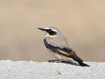 Wheatear Oenanthe oenanthe Stock Photos