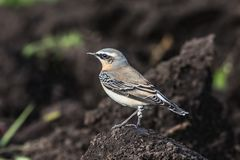 Wheatear. A Wheatear, Oenanthe oenanthe,  sits on the earth Stock Photography