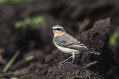 Wheatear. A Wheatear, Oenanthe oenanthe,  sits on the earth Stock Images