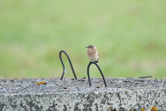 Wheatear offspring Royalty Free Stock Image