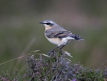 Wheatear. Perched on moorland heather Royalty Free Stock Photography