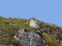 Wheatear. Perched o quarry edge Stock Images