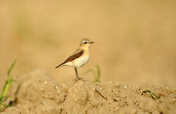 Wheatear perches on farmland Stock Image