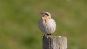 Wheatear on a post Stock Photos