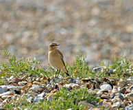 Wheatear Stock Photo