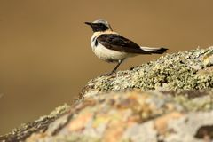 A wheatear. Watches from a rock Stock Images