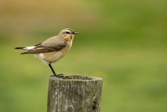 Wheatears Stock Photo