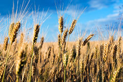 Wheatears en el wheatfield Imagenes de archivo