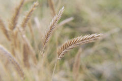 Wheatears jesieni wiosny pole Obraz Royalty Free
