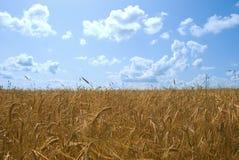 wheaten поля солнечное Стоковая Фотография RF