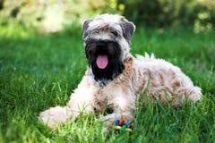 wheaten bestruken irländsk slapp terrier Fotografering för Bildbyråer