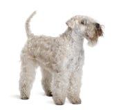 wheaten bestruken slapp plattform terrier royaltyfri fotografi
