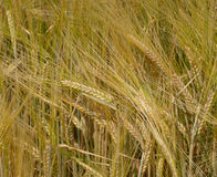 Wheaten ears Royalty Free Stock Images