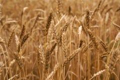 wheaten fält Arkivfoto