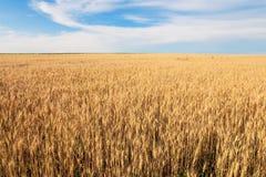 Wheaten fält med de mognade öronen för att skörda royaltyfri foto