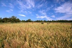 Wheaten fält och himmel Royaltyfri Foto
