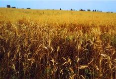 Wheaten Feld Stockfotografie