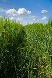 Wheaten field Stock Photo