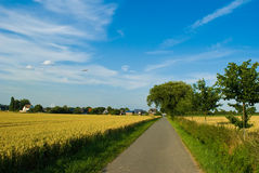 Wheaten field . Road between fields in a clear flying weather Royalty Free Stock Photos