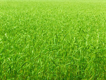 Wheaten   field Stock Photography