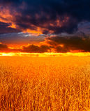 Wheaten field Royalty Free Stock Photo