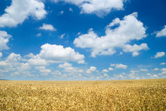 Free Wheaten Field And The Sky Royalty Free Stock Photo - 15929365