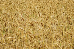 Wheaten field as background Stock Photos