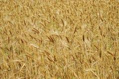Wheaten field as background Stock Photos