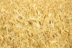 Wheaten field background Stock Image