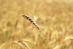 Wheaten field background Stock Photography