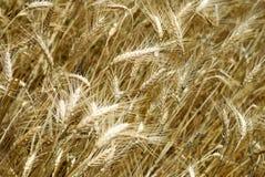 Wheaten field background Stock Photography