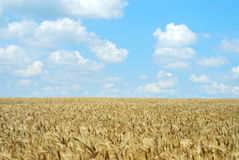Wheaten field and the sky Royalty Free Stock Photography