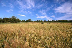 Wheaten field and sky. Village edge, wheaten field and the blue sky Royalty Free Stock Photo