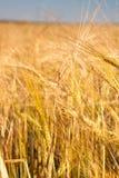 Wheaten gebied Royalty-vrije Stock Foto's
