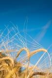 Wheaten gebied Stock Foto's
