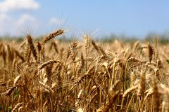 Wheaten gebied Royalty-vrije Stock Afbeelding